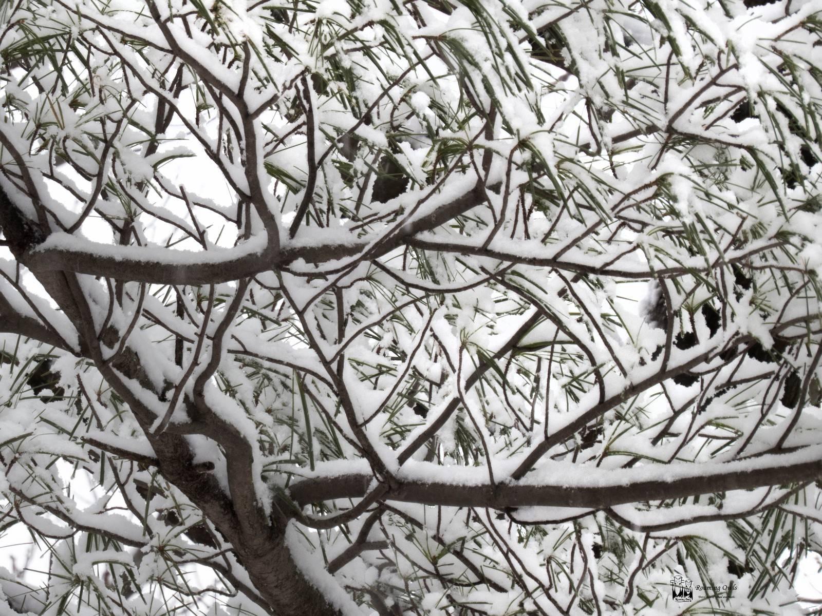 snow, pines