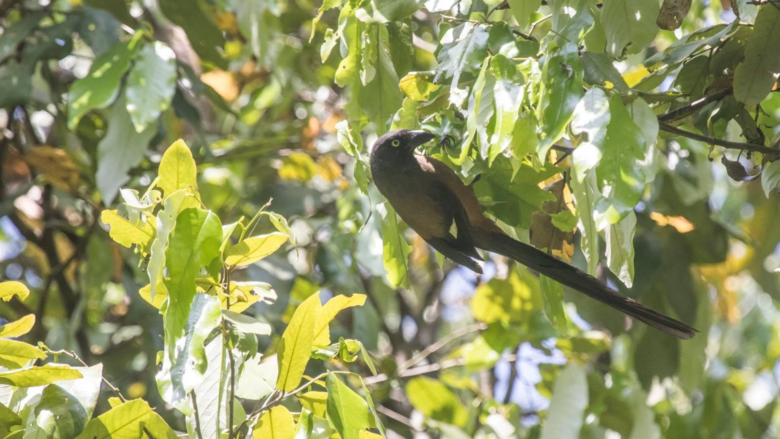 Dendrocitta bayleyi,Andaman tree pie,mount harriet birding,andaman birding,andaman endemic birds