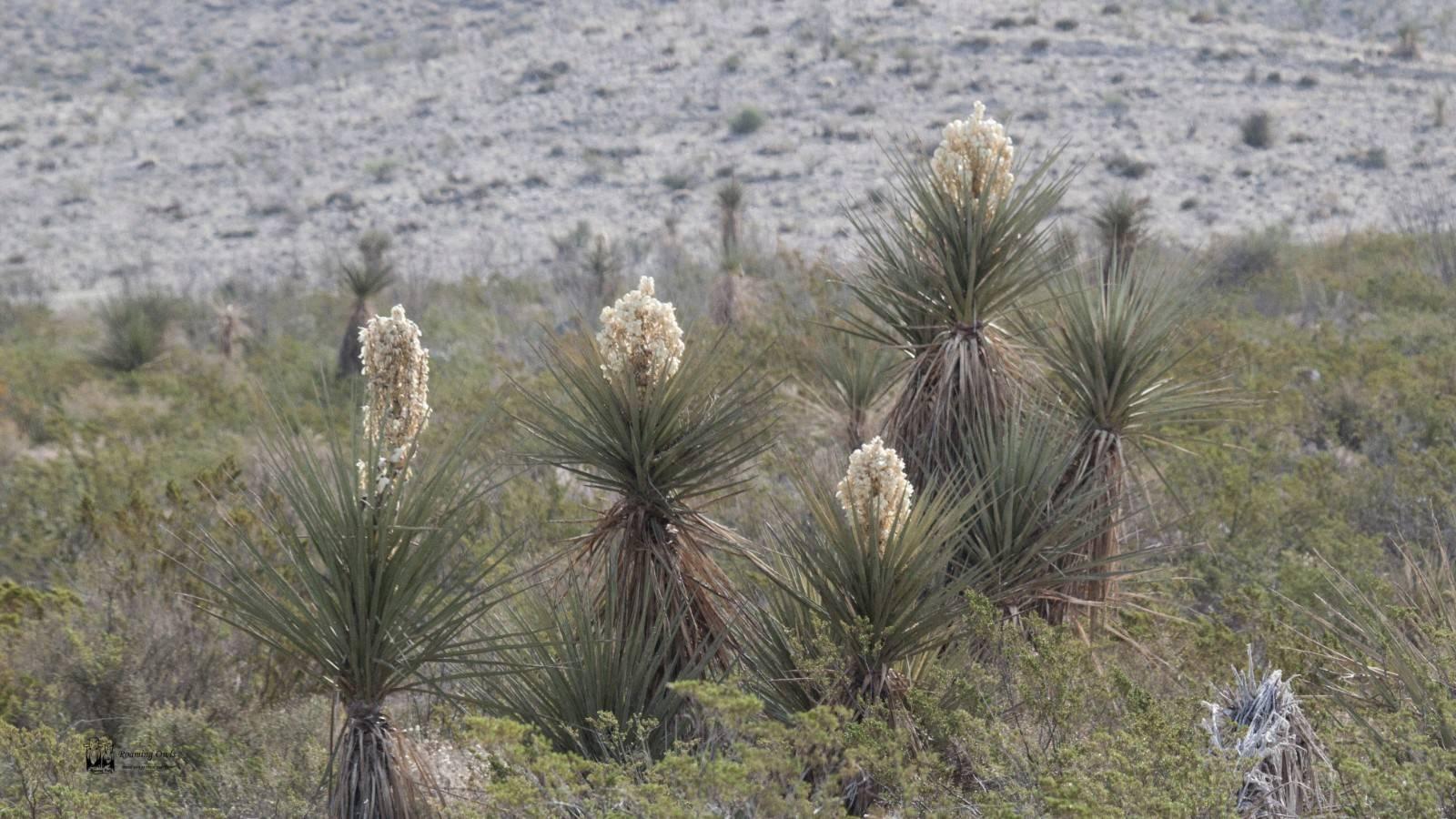 Yucca rostrata, big bend yucca, chisos mountain, chihuahuan desert