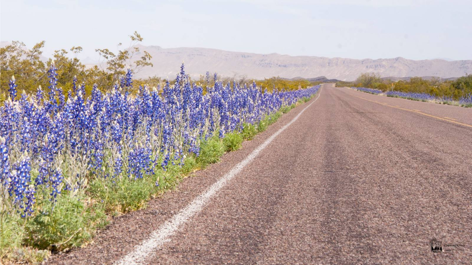 Lupine,blue flowers,big bend national park,texas,Big bend bluebonnet,Lupinus havardi