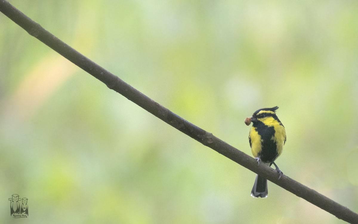 Black lored Tit , latpanchar, birding