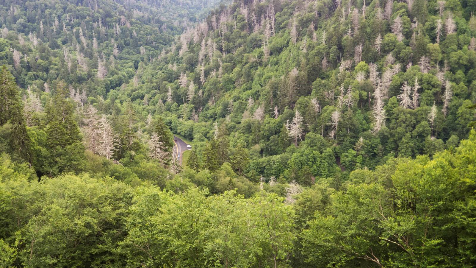 Dead pine trees, smoky mountain national park