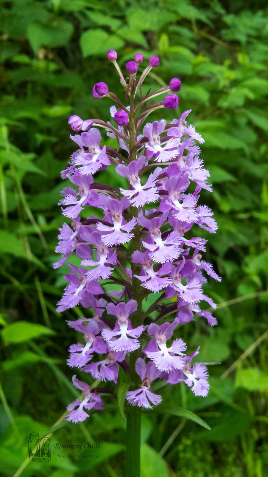 Platanthera psycodes, Lesser Purple Fringed Bog Orchid