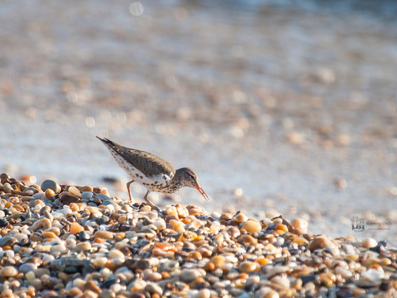 bird feeding horse shoe crab egg