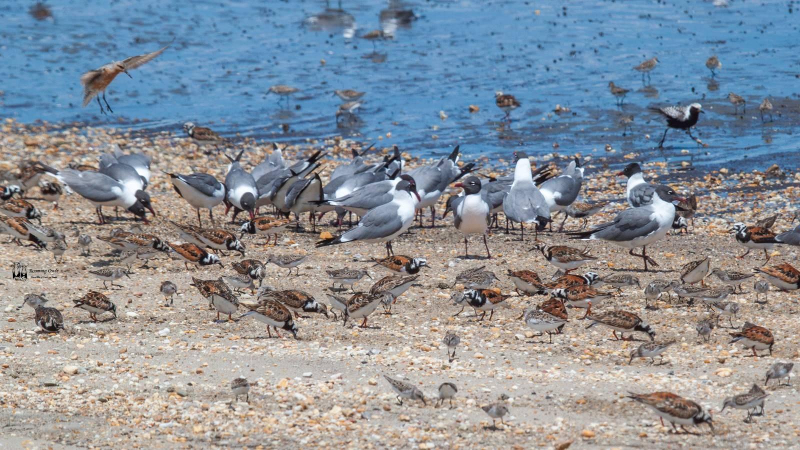 Delaware, migratory shore birds, red knot