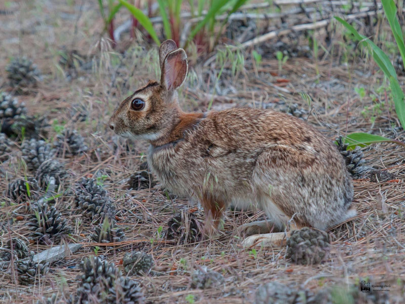 The eastern cotton tail rabbit , delaware, beach
