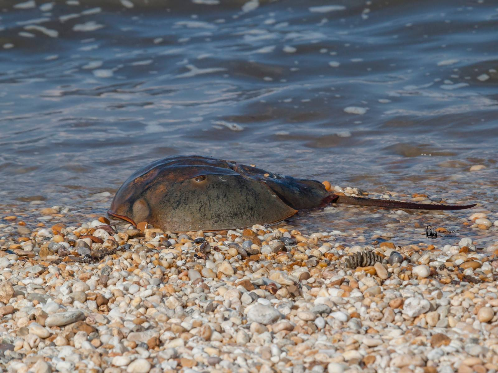 Delaware – Watching horse shoe crabs and birds