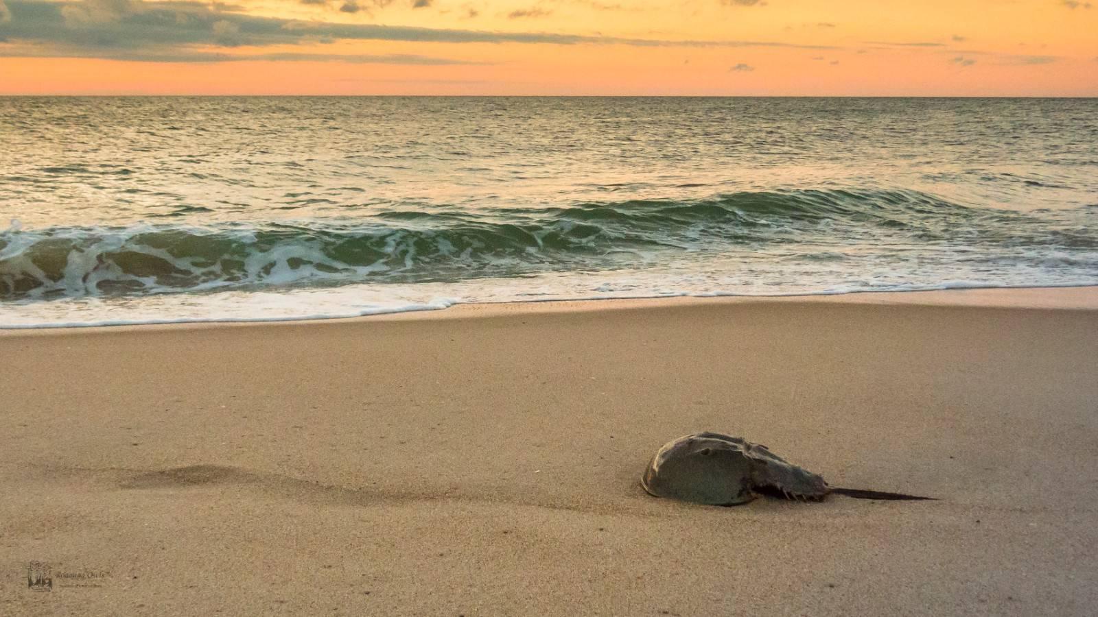 Delaware, horse shoe crab, beach,delaware shore