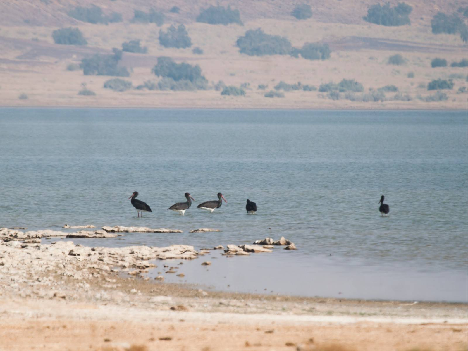 jaisalmer, lake, black stork