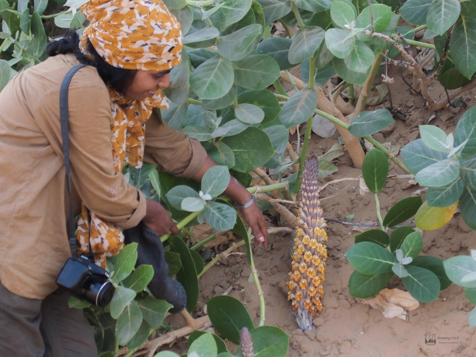 Desert National Park , desert hyacinth