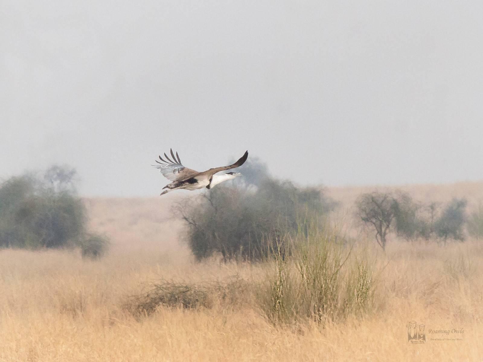 Desert National Park , great indian bustard, flight