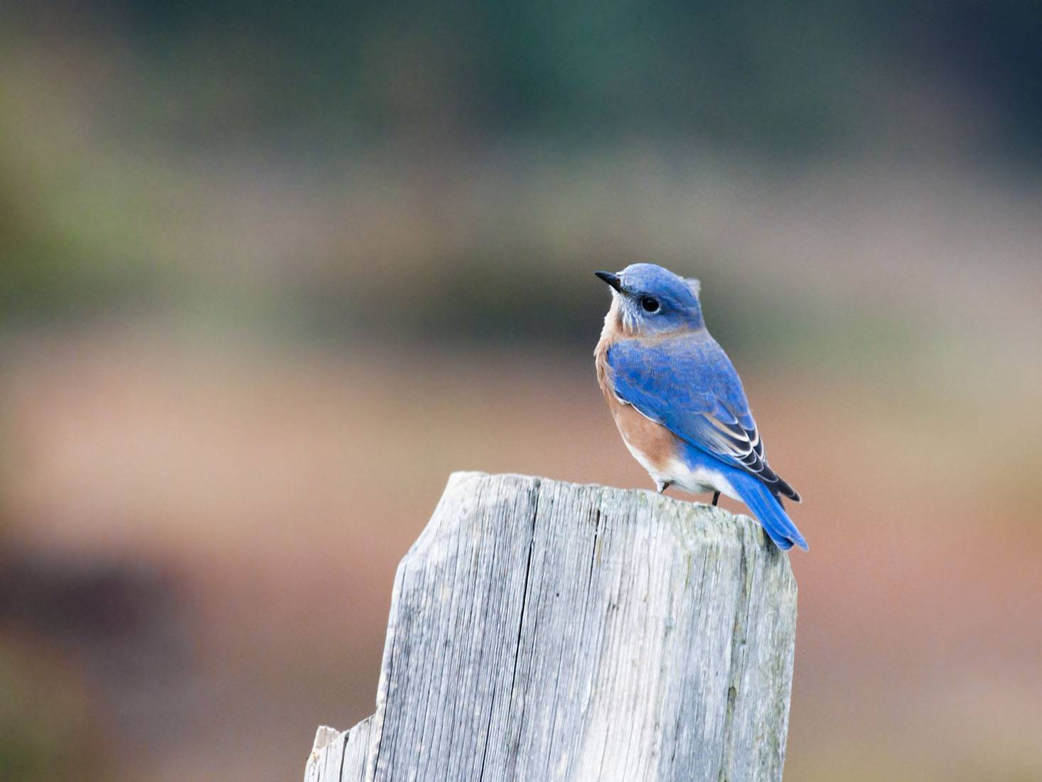 eastern bluebird, america bird , favourite birds
