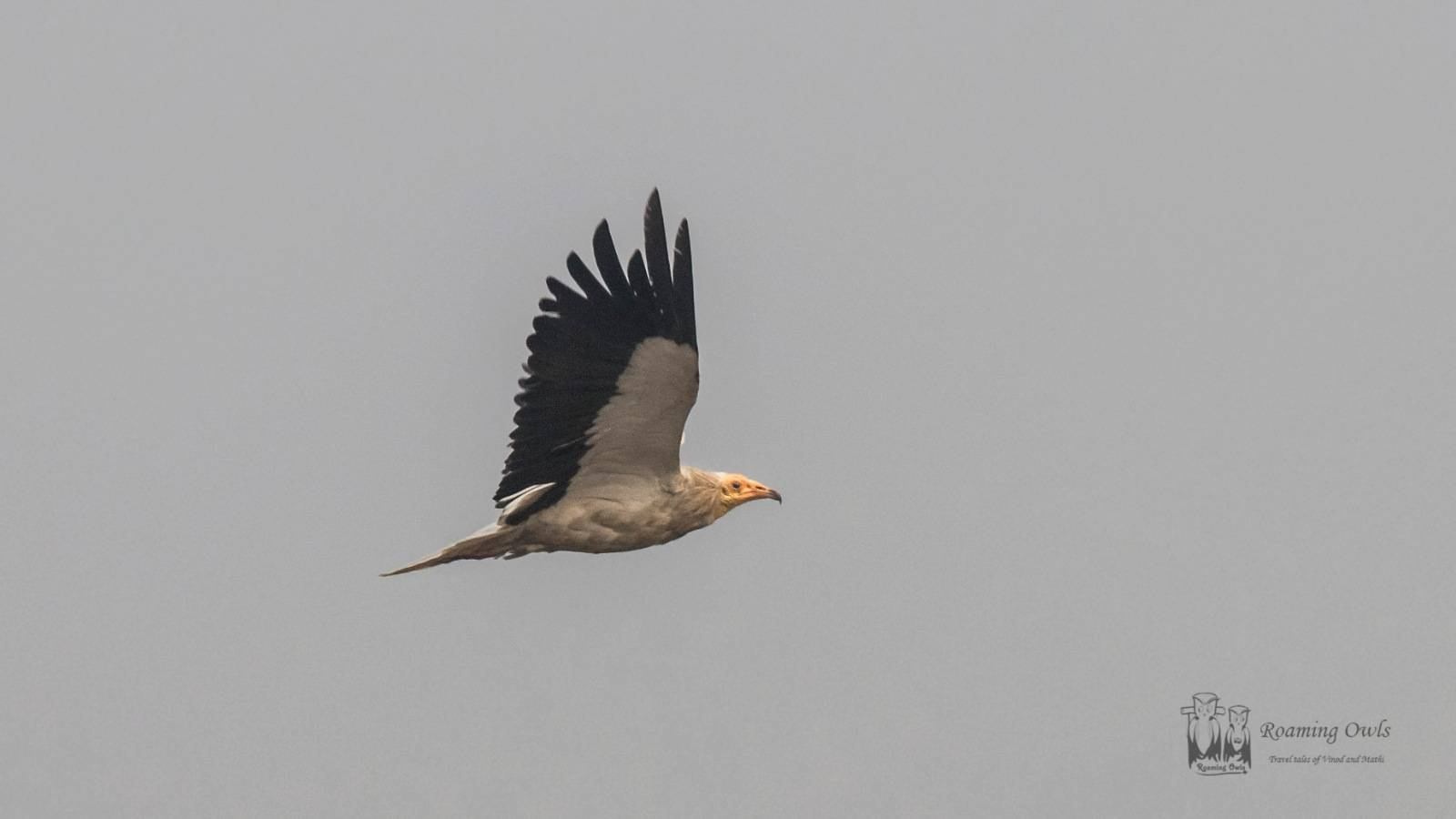 Egyptian Vulture,Rajasthan vulture bird,Bikaner birds