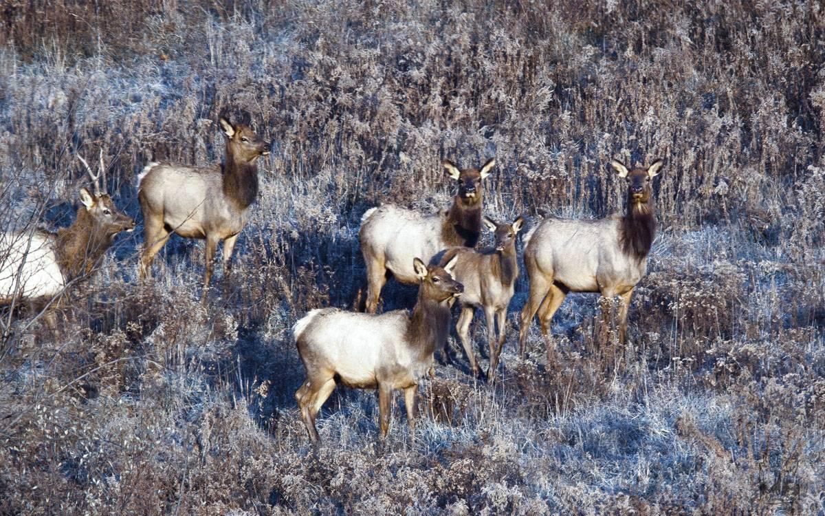 Elk, Elk herd , frozen grass
