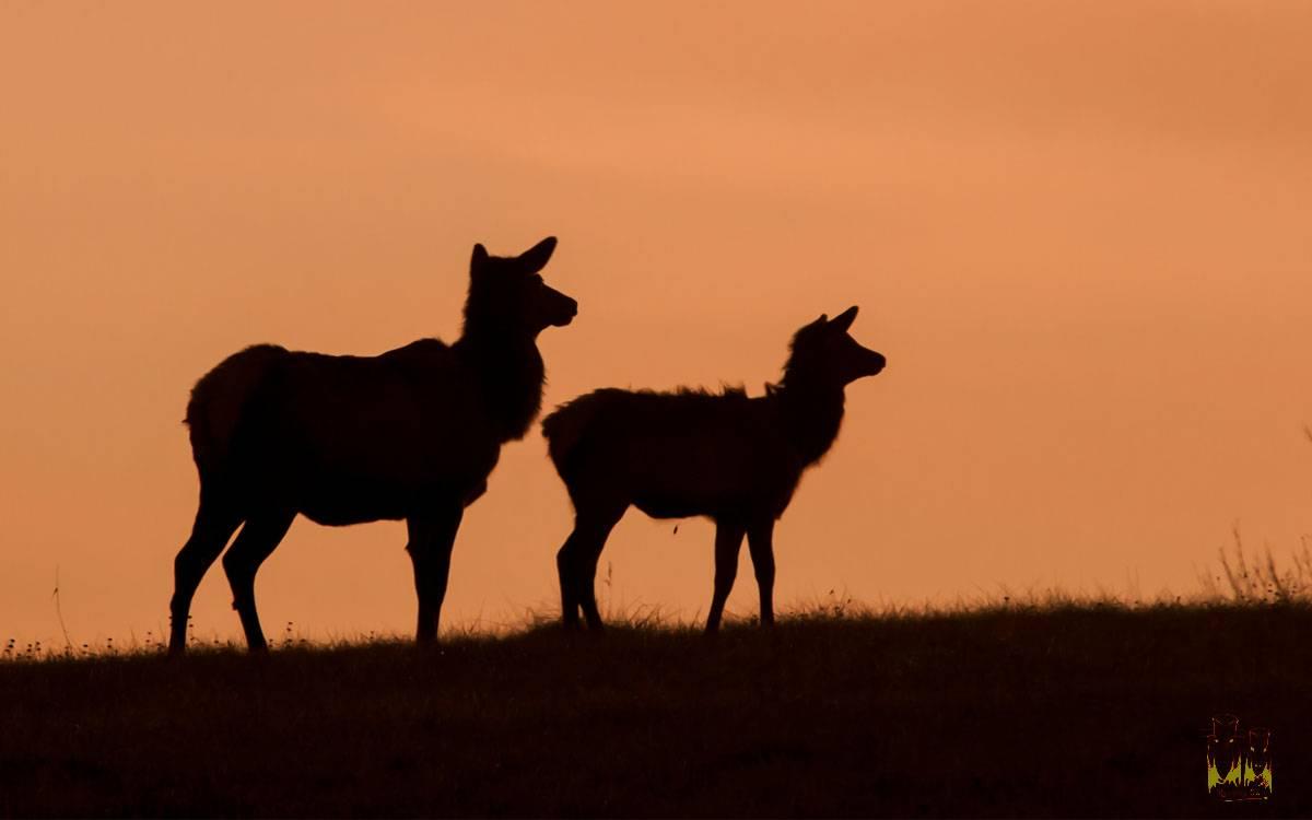 elk , silhouette