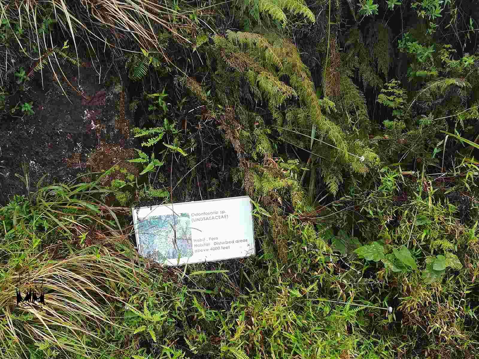 Odontosoria sp,Blechnum Orientala,Ferns disturbed areas,Dicranopteris linearis,Eravikulam national park fern