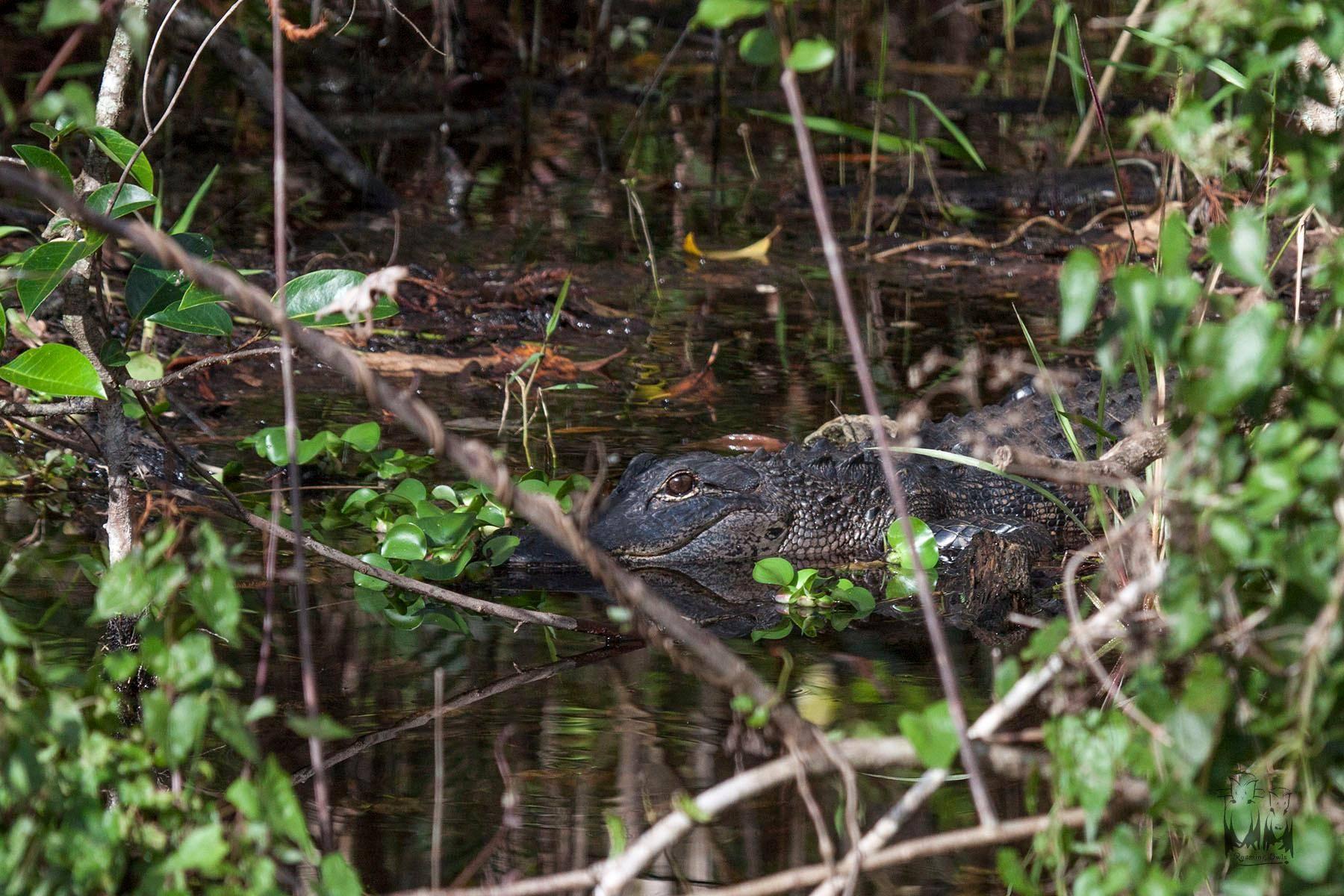 Everglades national park alligator,Florida alligator,Alligator Walk,clyde butcher swamp walk