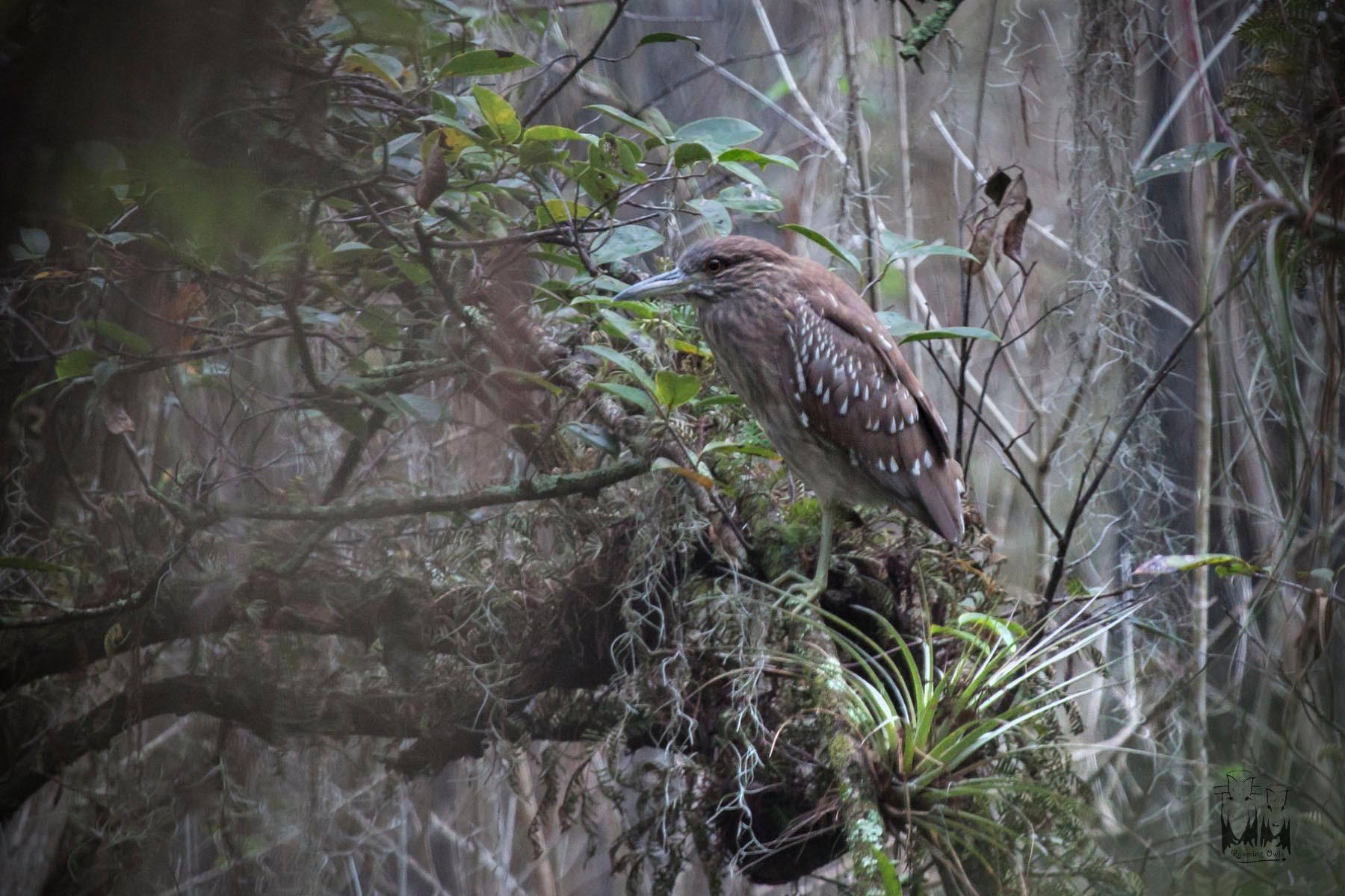 Night Heron,Vakka Bird,Everglades bird night heron