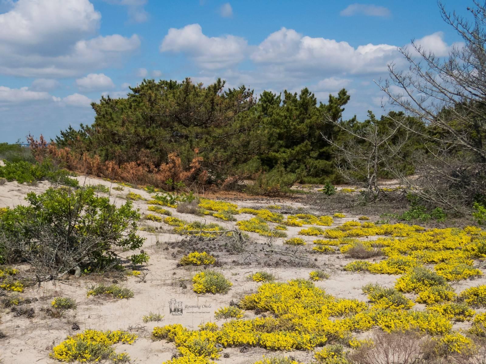 False heather, Beach, Delaware