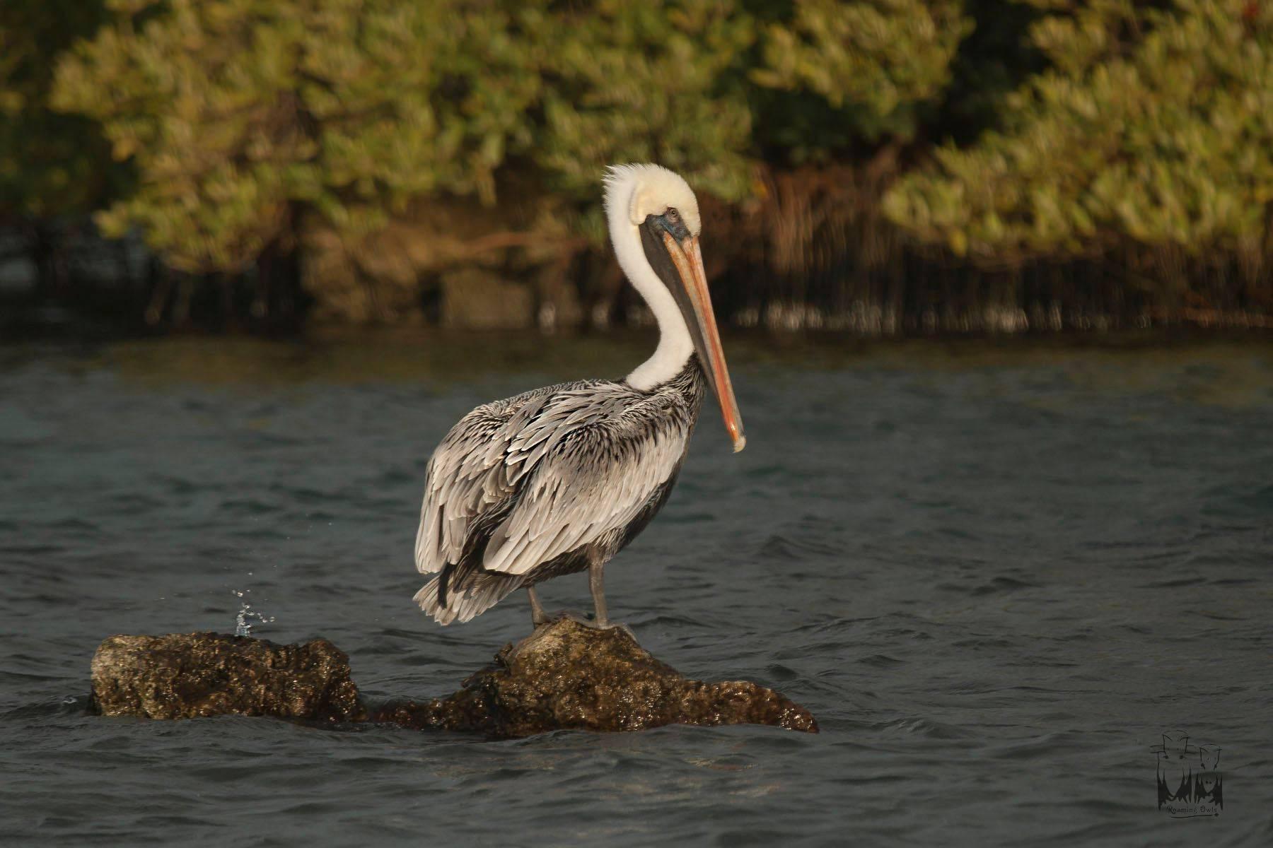 The brown pelican , Pelecanus occidentalis , florida keys