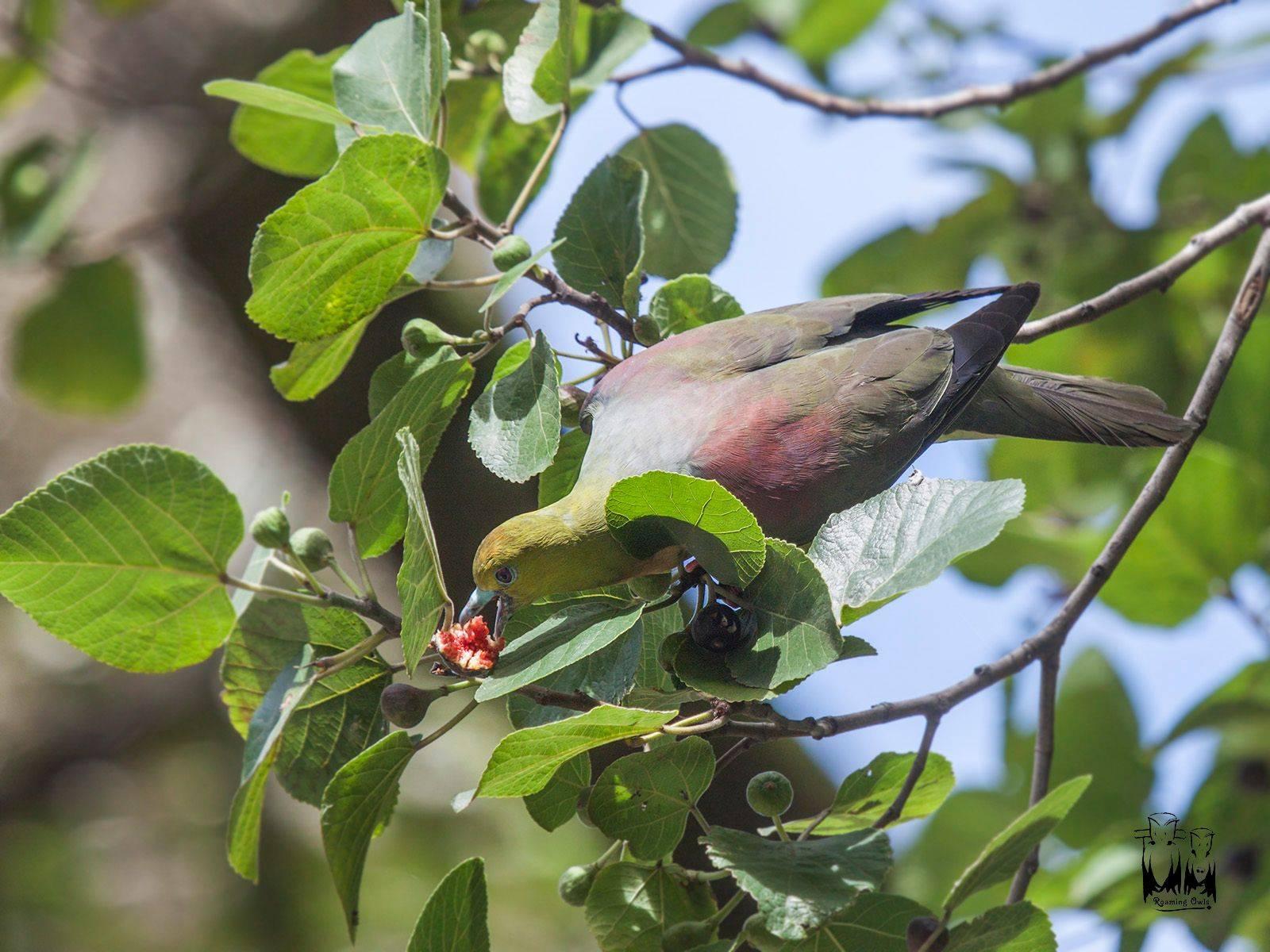 wedge tailed green pigeon , Himalayas , Ghangaria