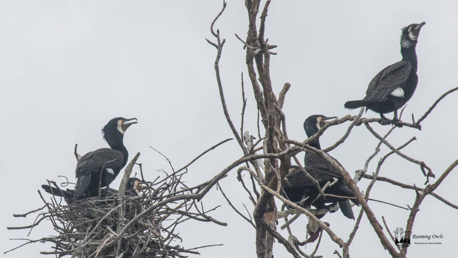 Phalacrocorax carbo,Great Cormorant,cormorant nesting