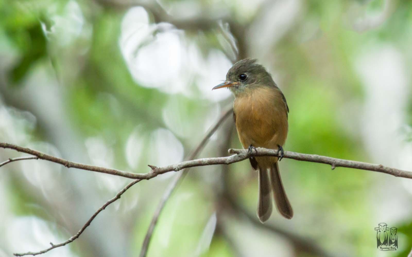 Greater Antillean pewee,Contopus caribaeus,Cuban Pewee