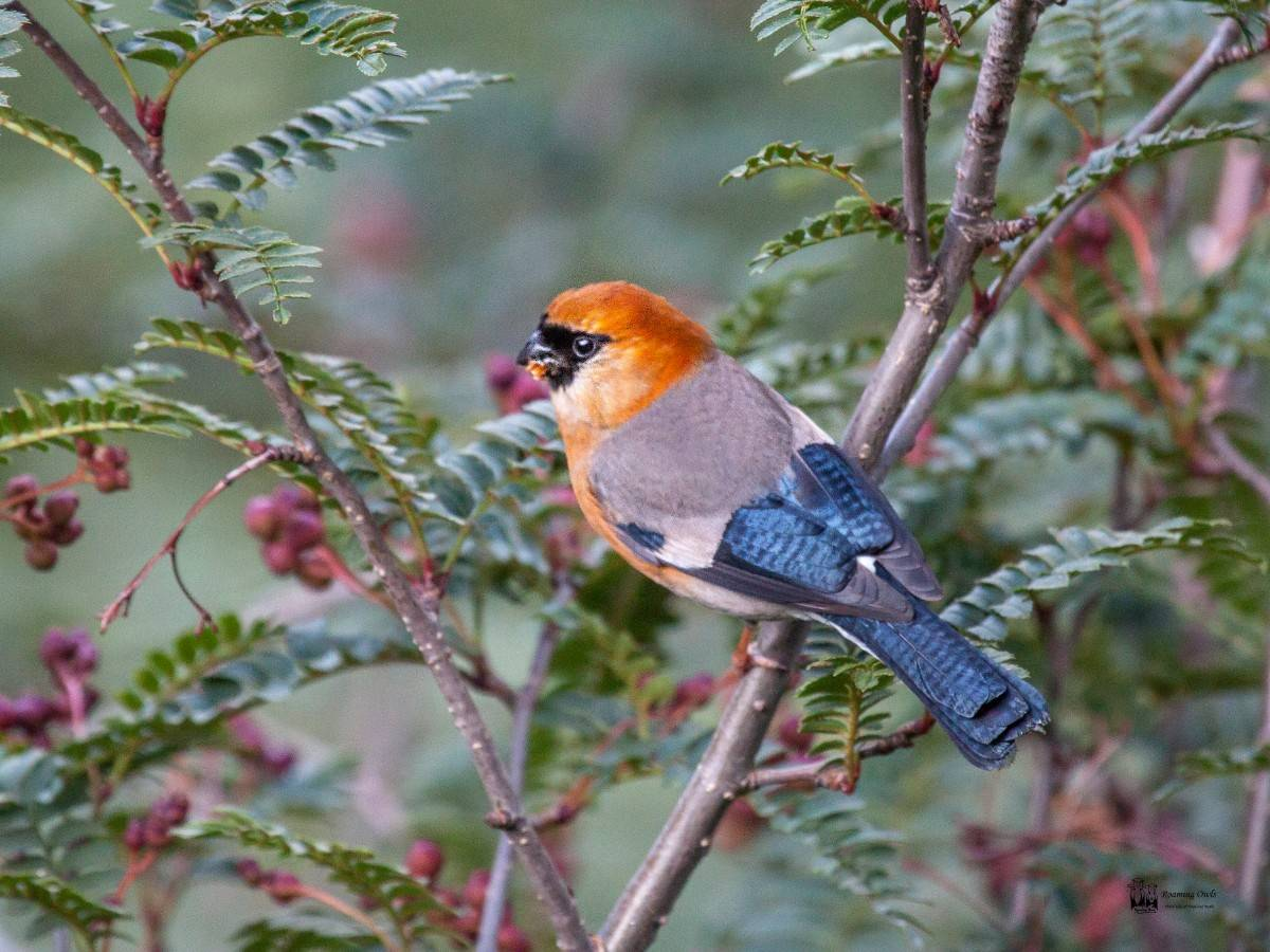 Hemkund sahib trek , red headed bullfinch