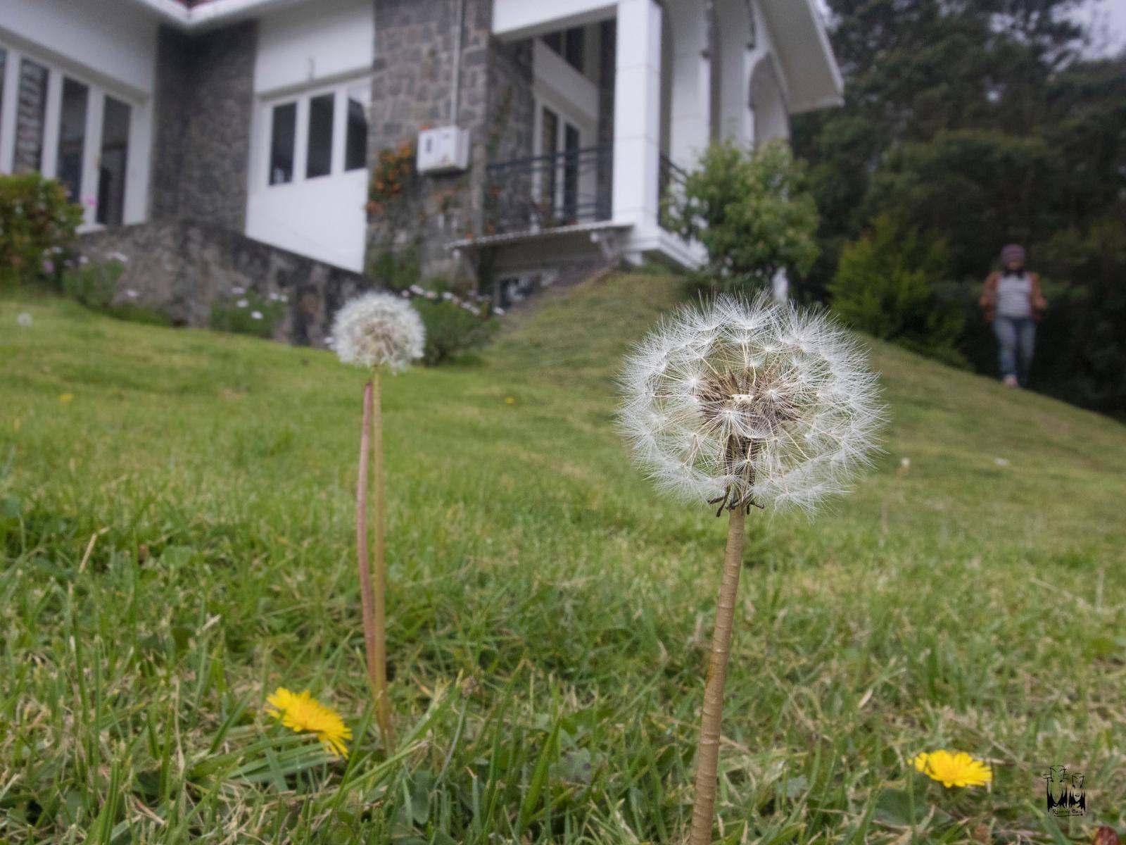 Dandelion Puff Ball,Kodaikanal dandelion house