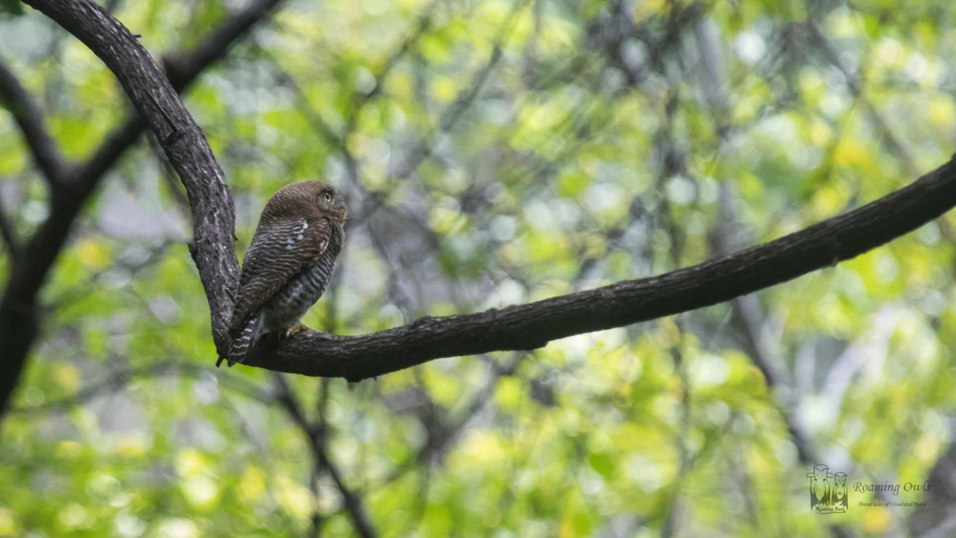The jungle owlet, barred jungle owlet, (Glaucidium radiatum)