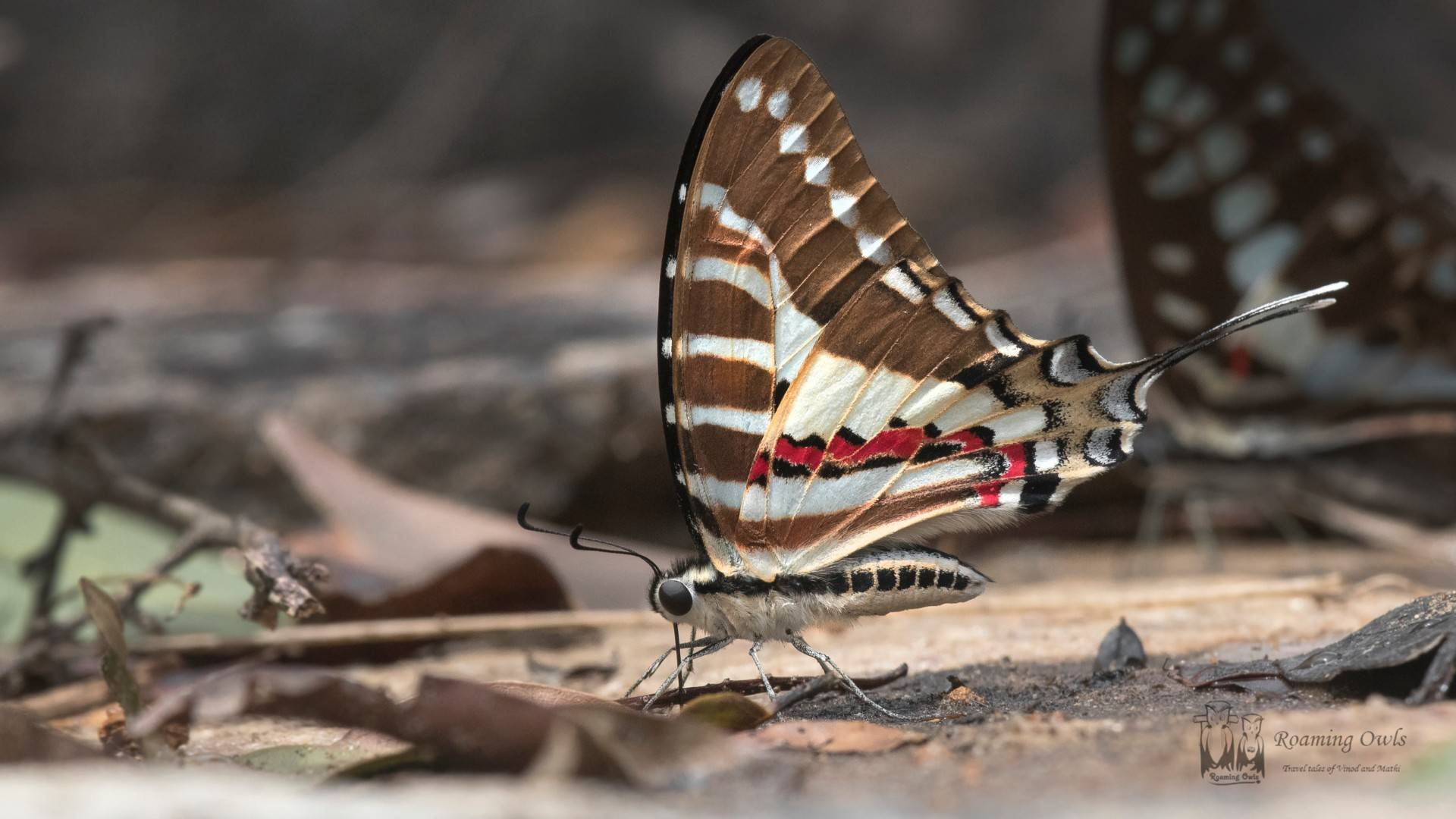 Graphium nomius nomius – Indian Spot Swordtail