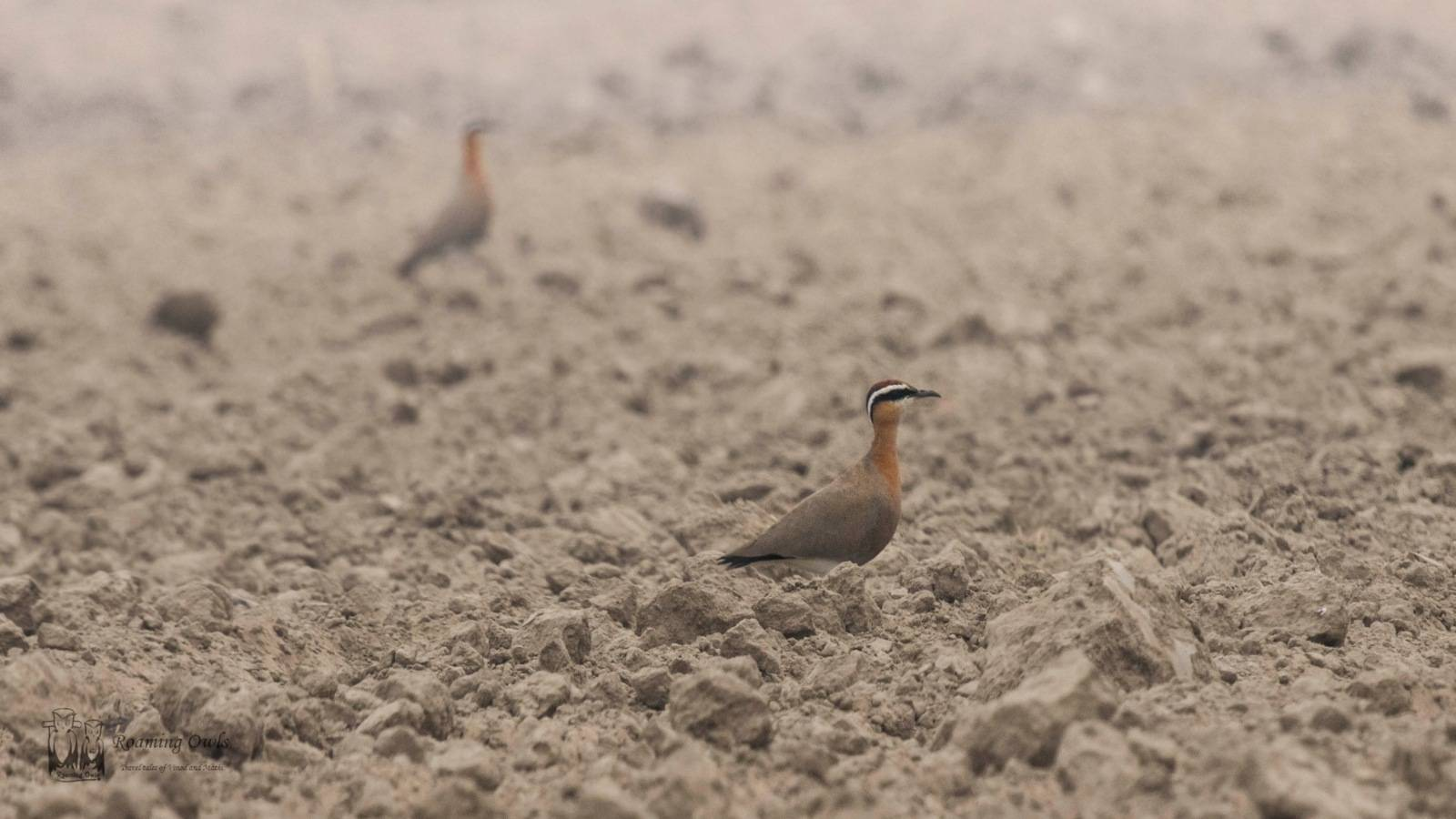 Indian Courser bird, Rajasthan rare bird,Indian Endangered rare birds