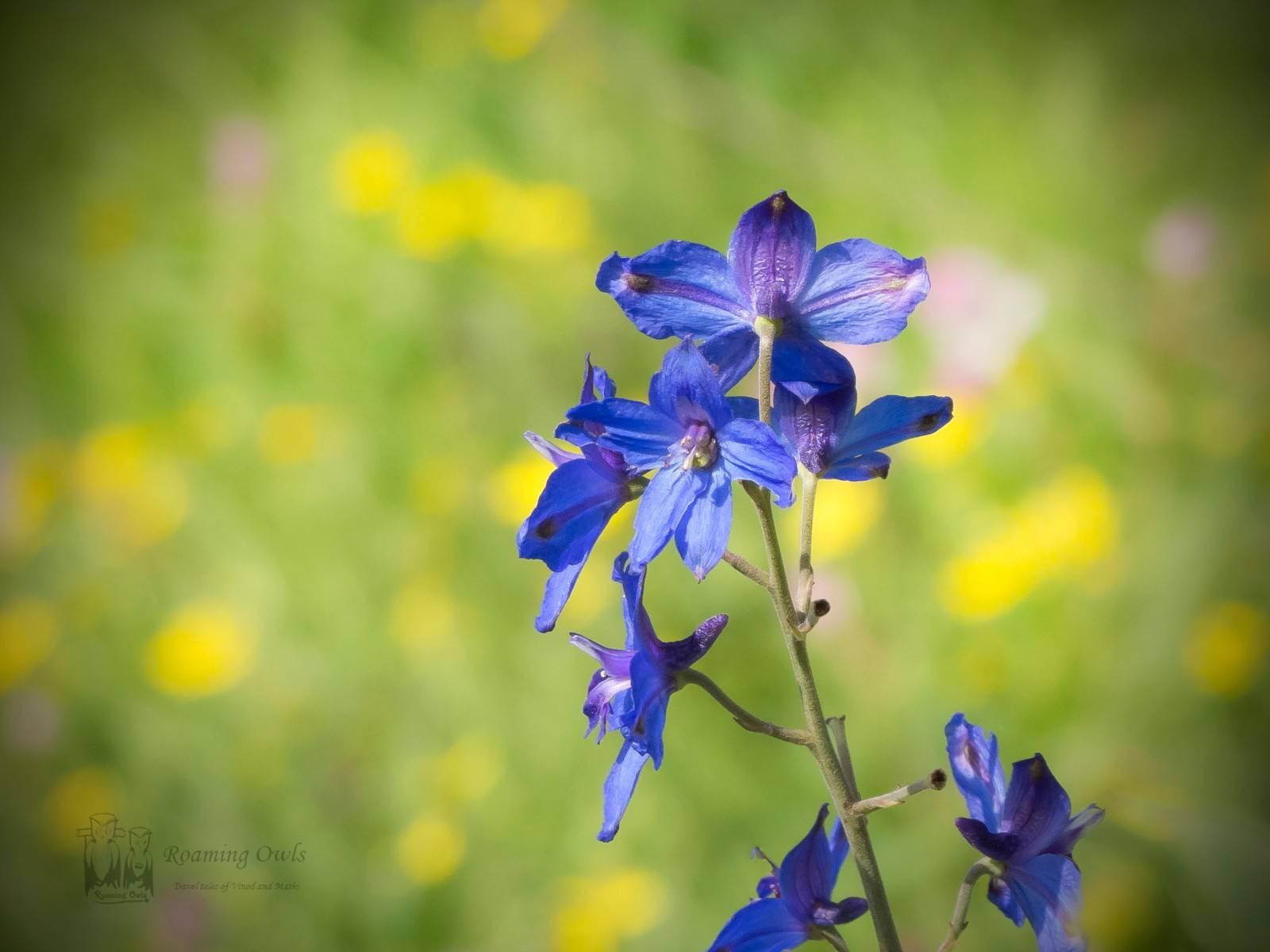 Kaas wildflower,Kaas plateau flowers,Delphinium malabaricum, Malabar Delphinium