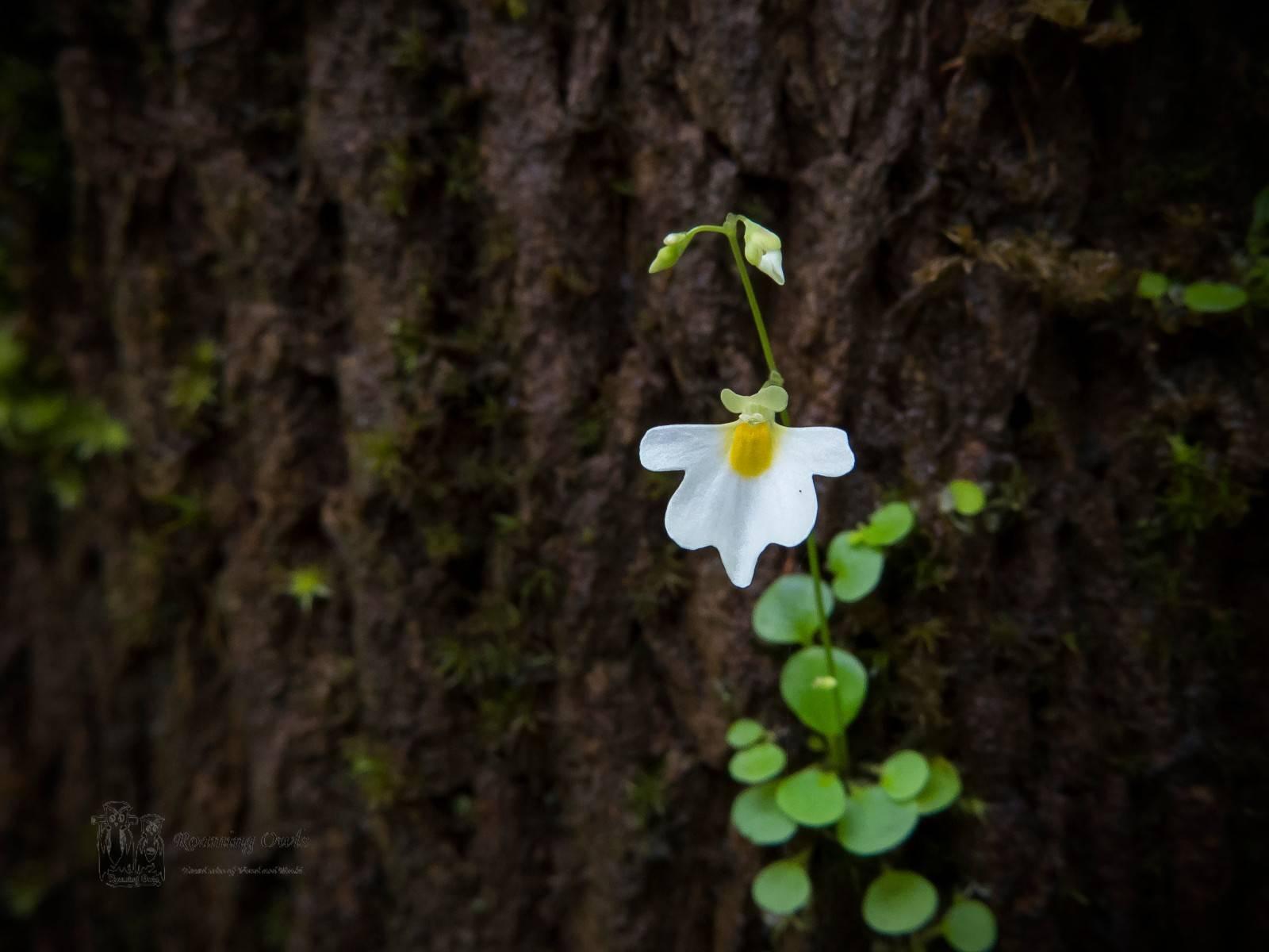 Utricularia striatula,striped bladderwort,kaas wildflower,utricularia faded,carnivorous plant