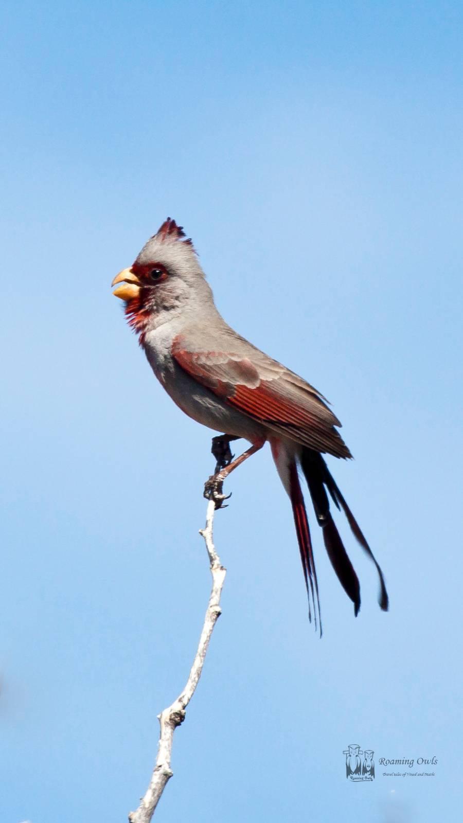 The pyrrhuloxia , desert cardinal , Cardinalis sinuatus