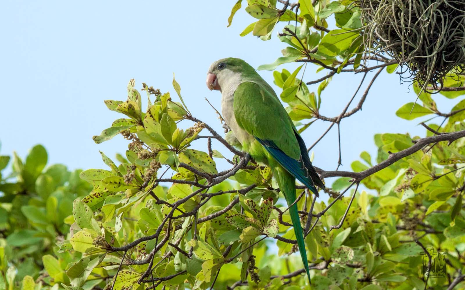 Monk parakeet sanjuan,Myiopsitta monachus,Quaker parrot,sanjuan birding