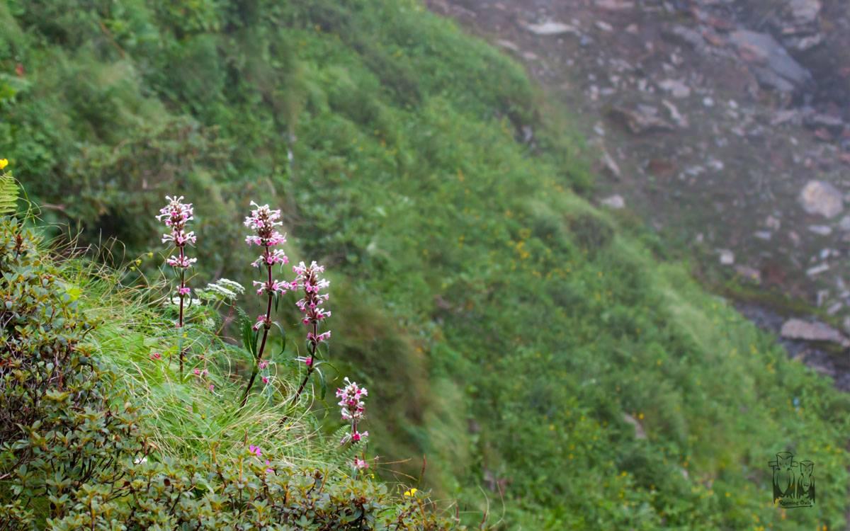 Himalayan Whorlflower , Morina longifolia , himalayas, dhela