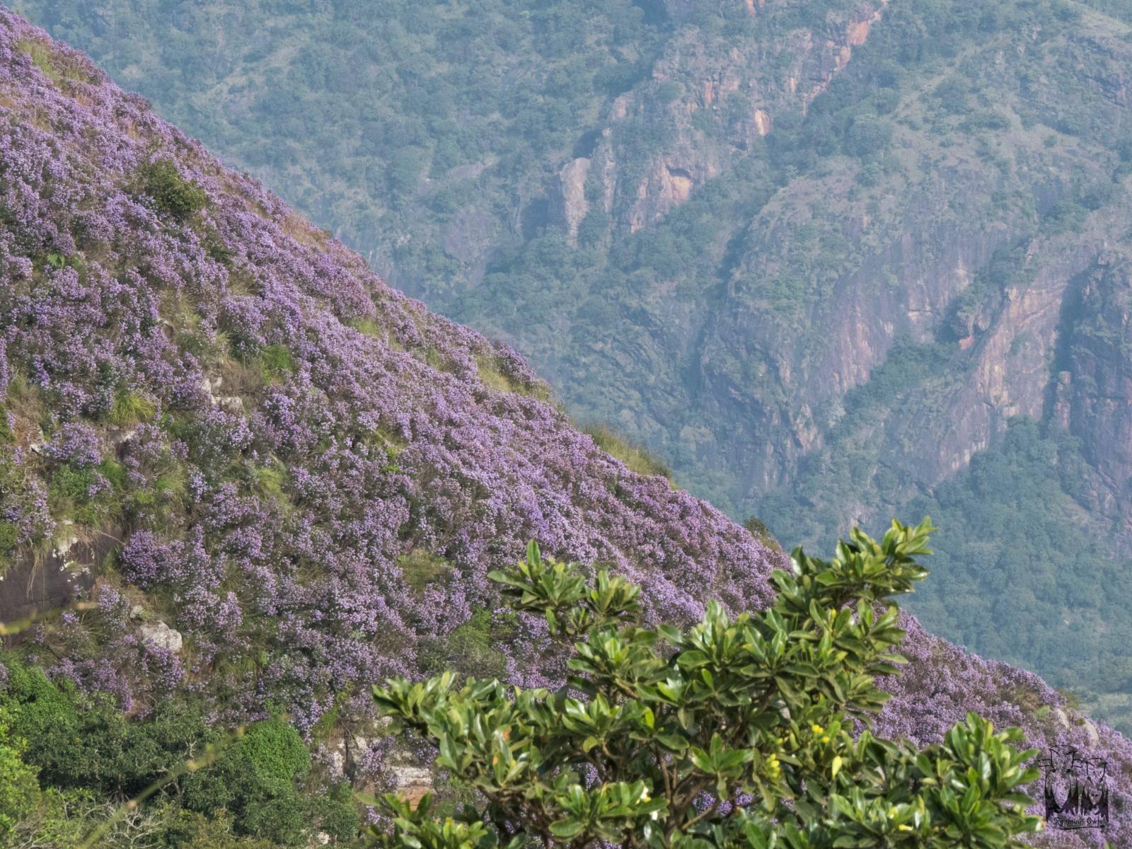 Neelakurinji,strobilanthes konthiana,Nilgiri hill range,நீலக்குறிஞ்சி