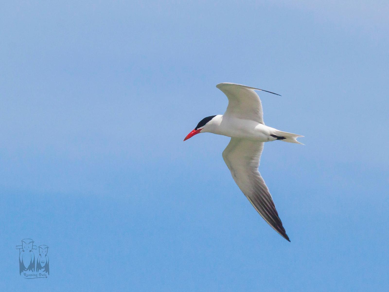 Hydroprogne caspia,Caspian tern,Lake Michigan Shore birds
