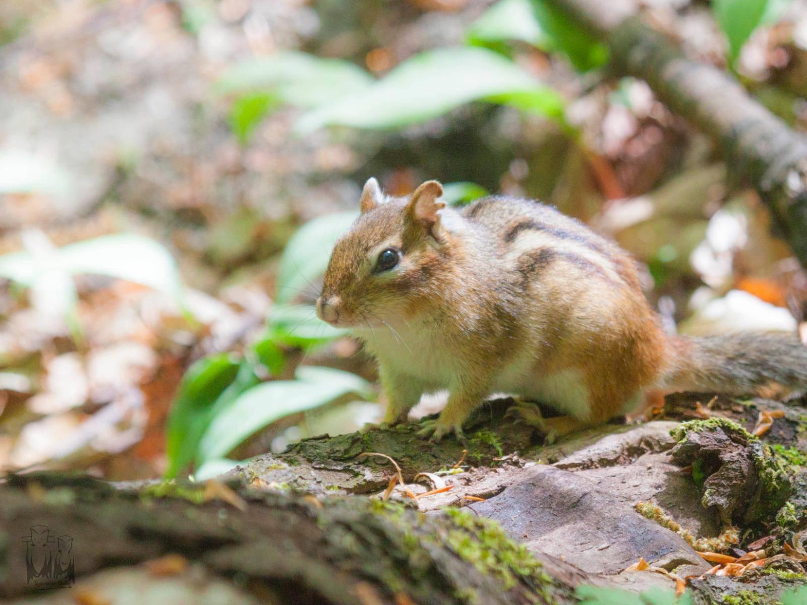 Eastern Chipmunk,Tamias striatus,North Manitou fauna