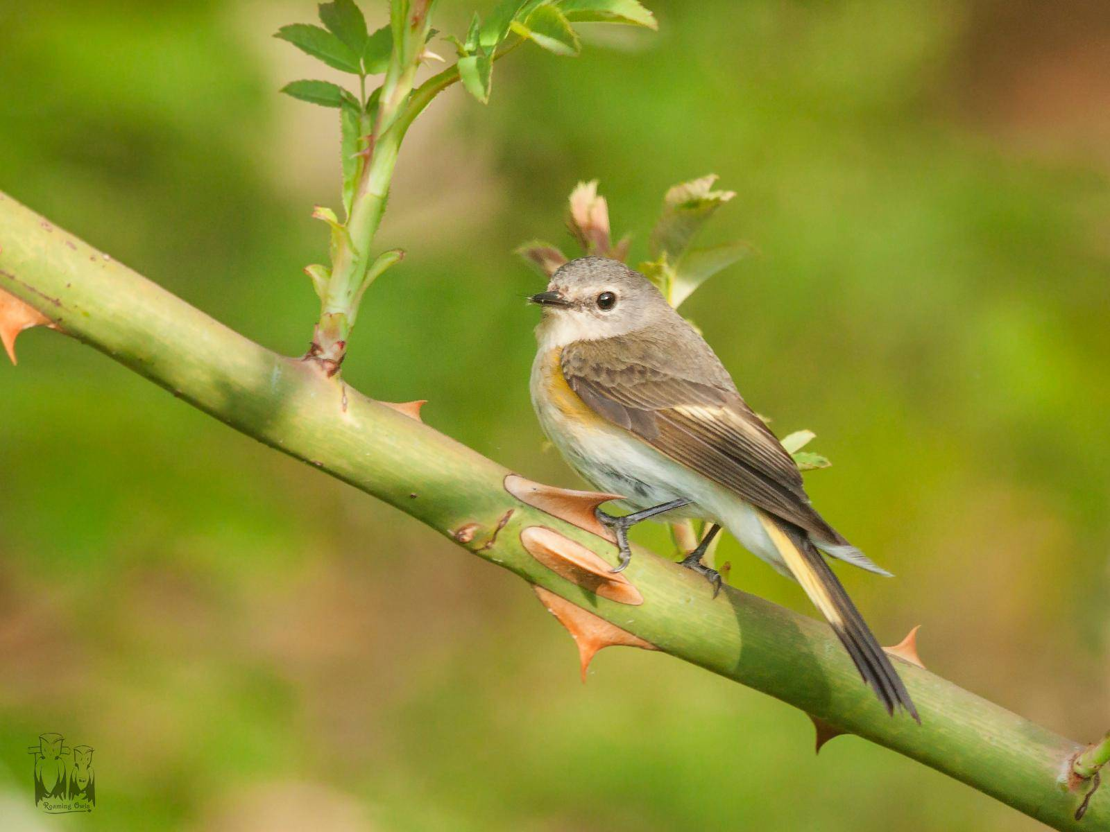 Female American Redstart,North Manitou birding, Setophaga ruticilla