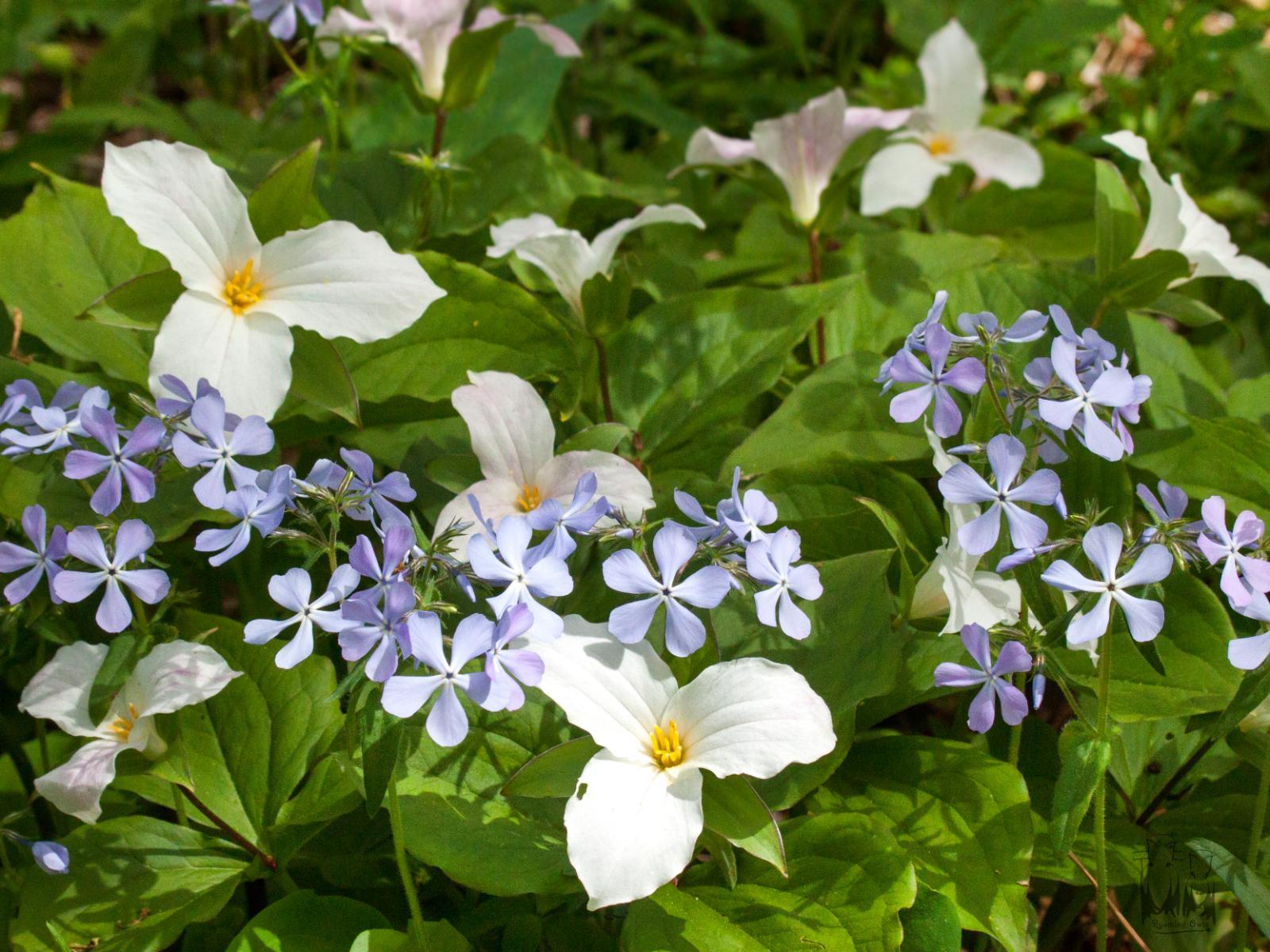 Great White trillium,Trillium grandiflorum,wild blue phox,Phlox divaricata,North Manitou flora