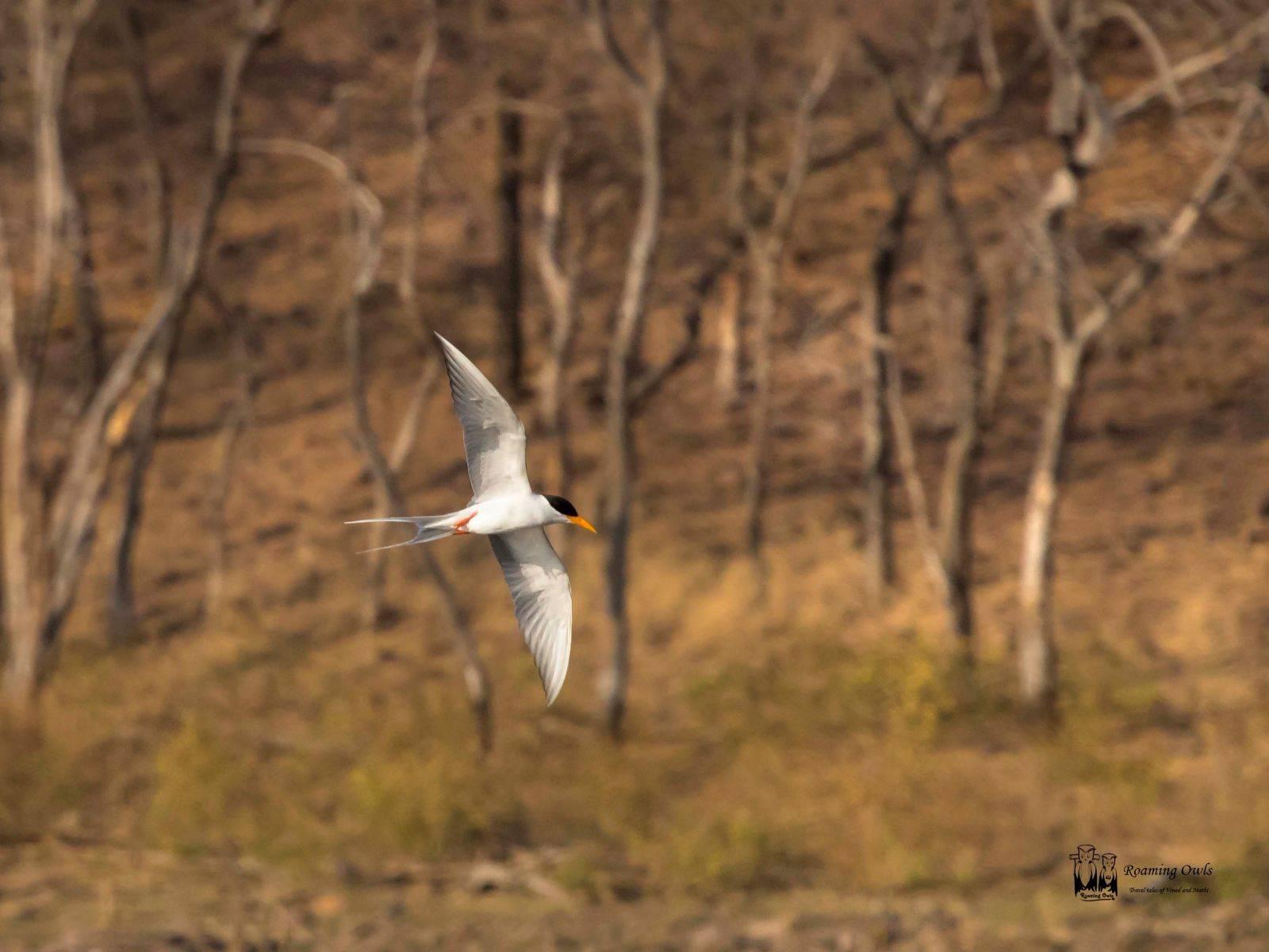 River Tern,Sterna aurantia,India Near Threatened,Ranthambore Birds,Indian Birds