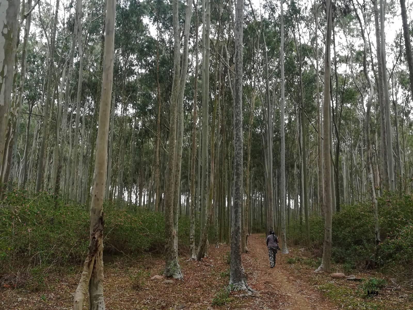 Yelagiri Eucalyptus,Tamilnadu Eucalyptus forest,Shanti Chellappa