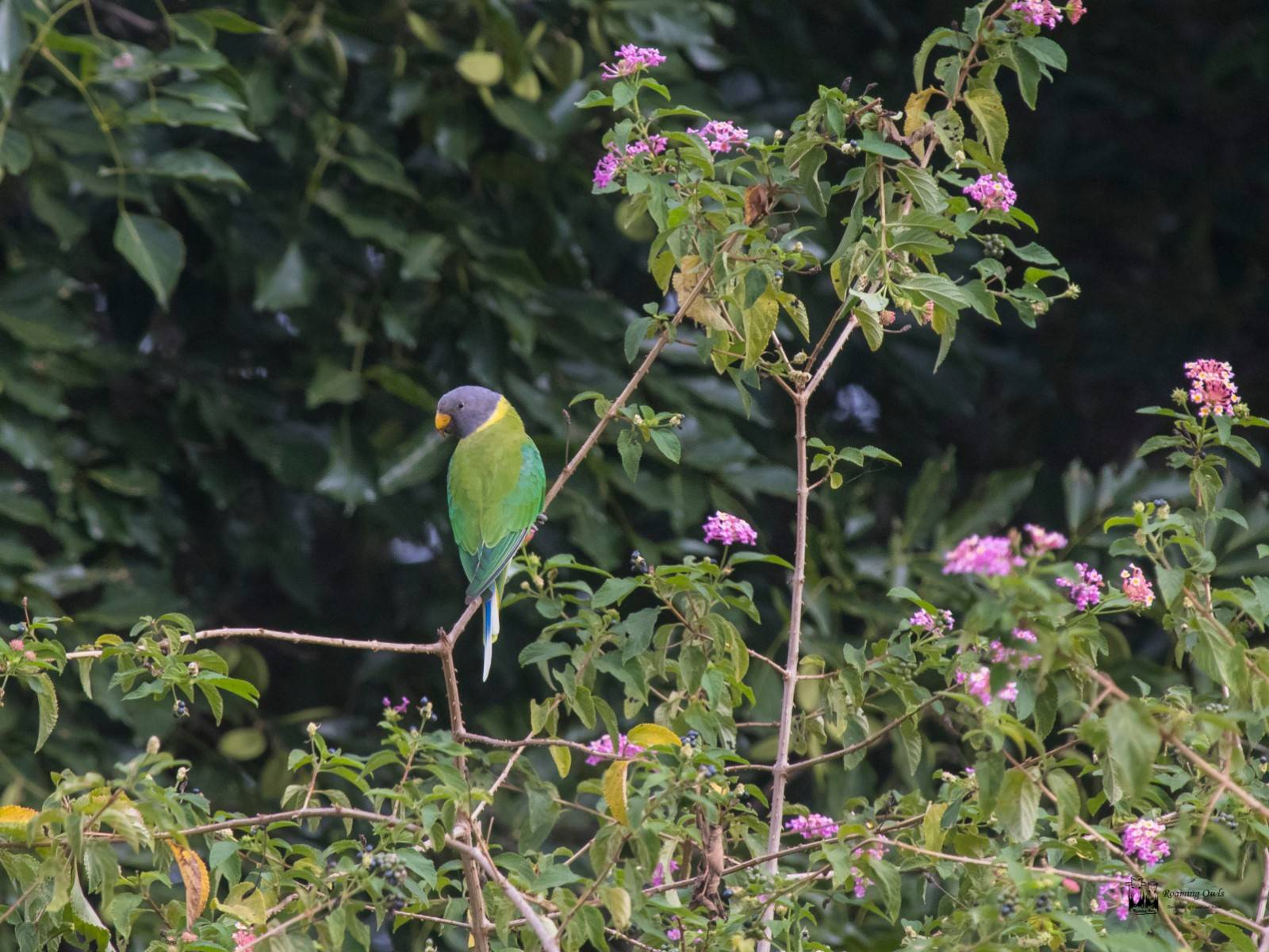 yelagiri, Plum headed parakeet female