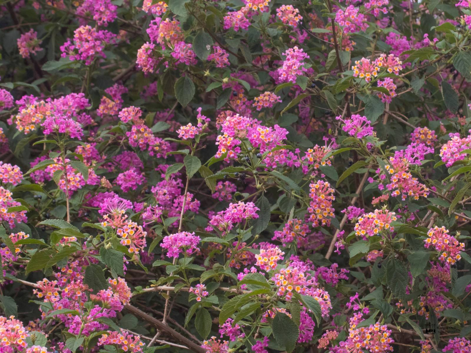 Lantana Camera,Invasive Indian Plants,Yelagiri weeds Tamilnadu