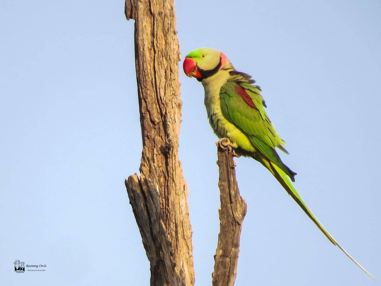 Alexandrine parakeet,India Largest Parakeet,Ranthampore parakeet birds,Indian birds