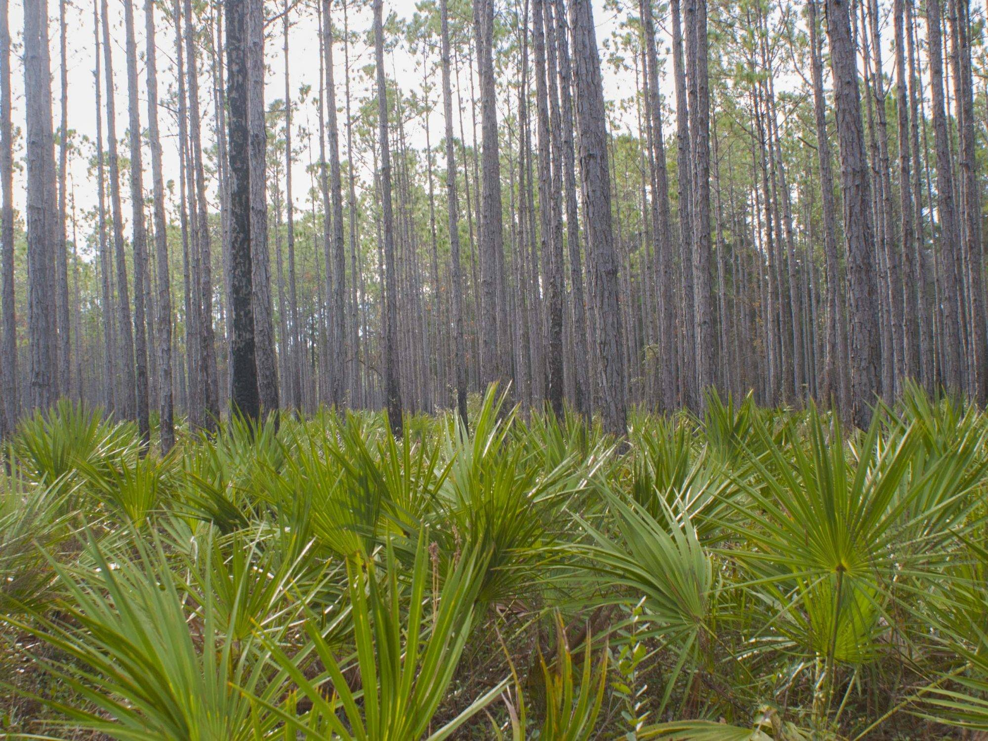 apalachicola national forest . palms