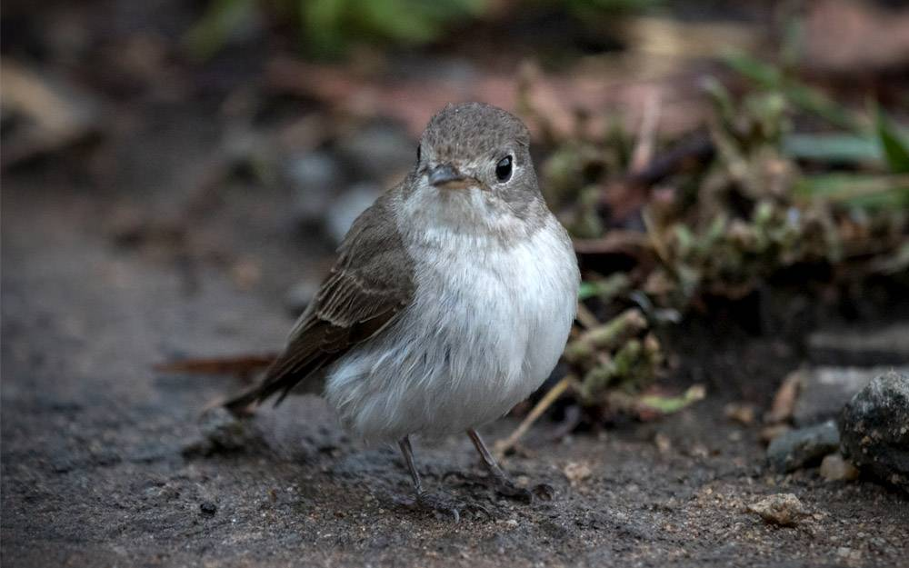 Asian Brown flycatcher, birding, Chinnakallar