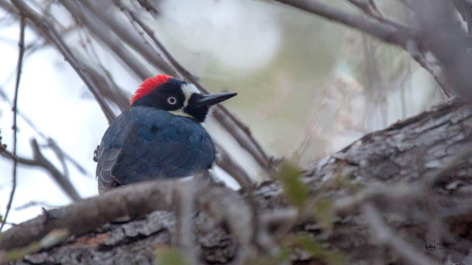 The acorn woodpecker , Melanerpes formicivorus